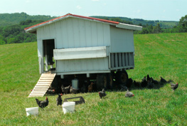 Chickens around a chicken coop